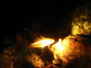 Trisopterus minutus - Sypike. Gullglinsende og meget nysgjerrig