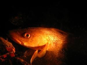 Nærbilde av rød torsk. Ny art i indre Oslofjord eller bare dårlig lys?